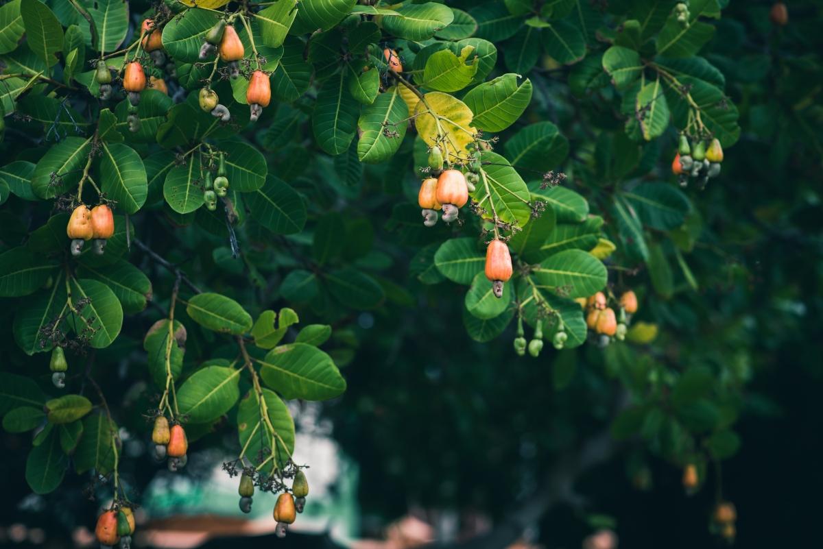 anacardos: botánica y vegetal