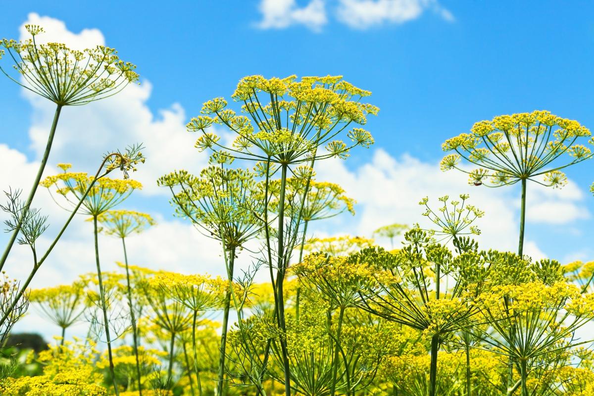 eneldo: botánica
