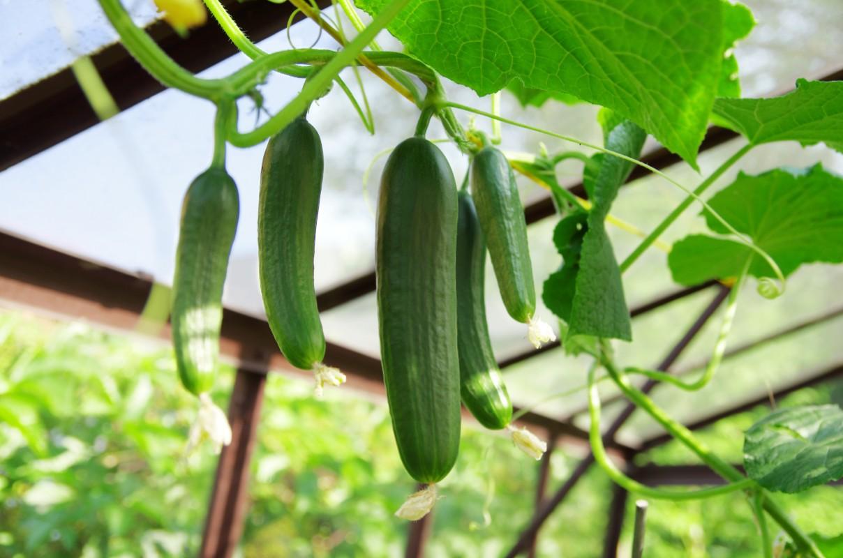pepino: botánica