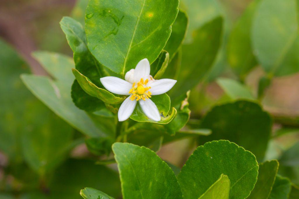bergamota, la planta