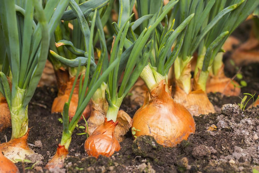 cebolla, como se cultiva